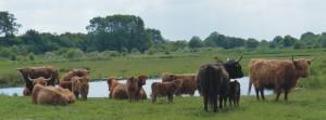 Rinder auf der Geltinger Birk